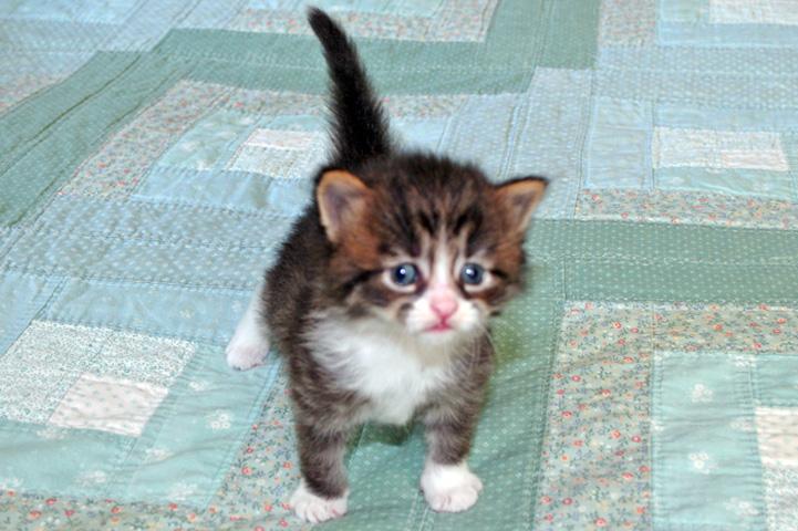 hypoallergenic cat breeds. texassiberian cat breed